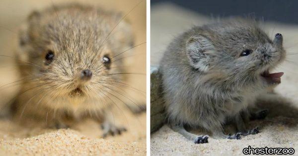 愛でまくりたい!お鼻の曲がったハネジネズミの赤ちゃん、他7種の動物ベイビー