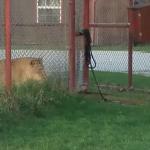 さすがに無謀だろ!ライオンにタイマン勝負を挑んだ猫が勇敢すぎて笑う