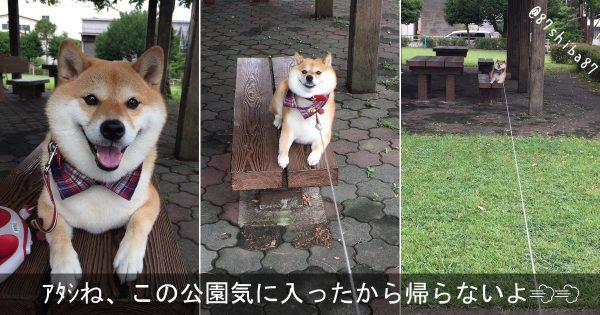今日のワンコ 【最強の可愛い系生物~柴犬編~】17選