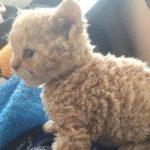 天使が誕生してた!巻き毛がフワッフワの子猫に胸キュン卒倒者続出