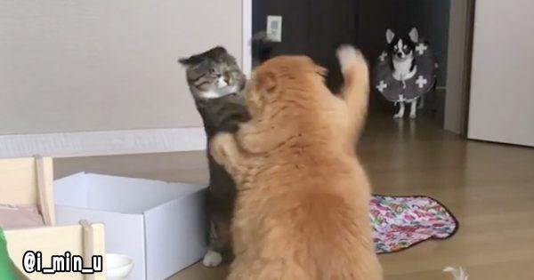 予想外の結末に吹き出す!喧嘩している猫と夏に浮かれた犬の喜劇