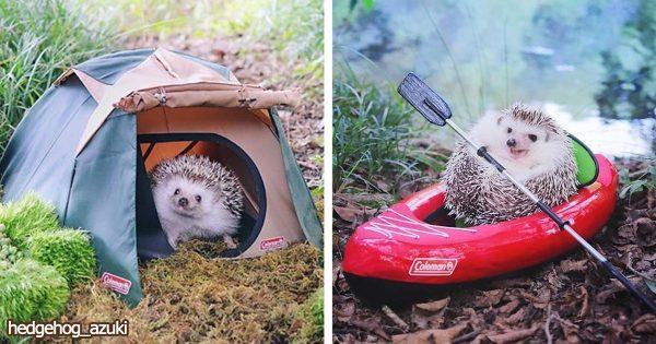 【小動物好きは悶絶不可避】ちっちゃなハリネズミがキャンプする姿に世界中が熱狂