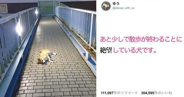 ちょっ・・・そこで!?「帰りたくないワン。」散歩終了が受け入れられず絶望する柴犬
