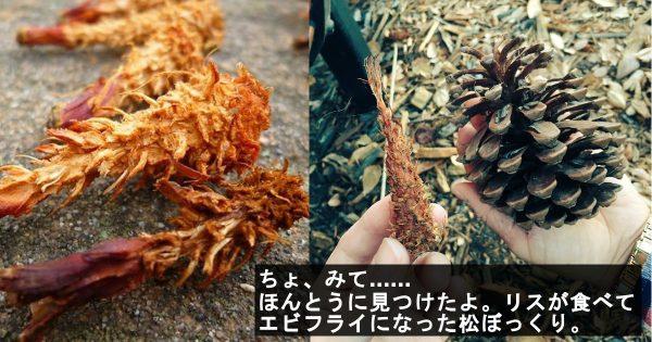 【大発見】リスが食べた後の松ぼっくりが完全にエビフライな件(他7選)