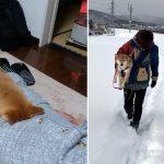【北国育ちのくせに散歩にならない】柴犬との日常がシュールすぎる件10選