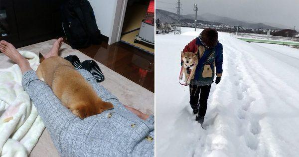 【北国育ちのくせに散歩にならない】柴犬との日常がシュールすぎる件 8選