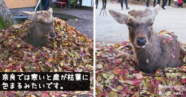 天才的な発想!奈良県のシカが「枯葉ゴタツ」の開発に無事成功する