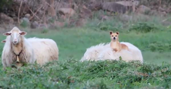吹き出し注意!ドヤ顔で羊に乗っかるワンコがかっこよすぎ(0:23)