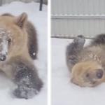 ハシャぎまくりで笑っちゃう!巨大なクマ、雪遊びが楽しすぎて我を忘れる