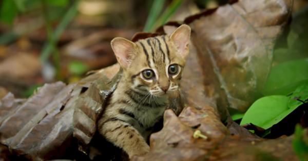 かわいすぎて鼻血出る!「世界最小のネコ」が森を駆け回る姿に胸キュン