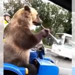 どこから連れてきた!(笑) 巨大なクマさんがサイドカーに乗って街中に登場