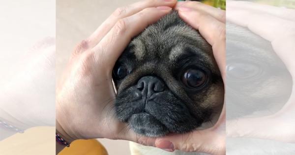 【リピート必至】ご主人が両手で作った丸に、顔をはめるパグが可愛すぎる!