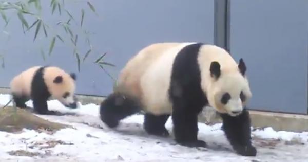 【可愛すぎる犯人】上野動物園で起きた美しすぎる「パンダの膝カックン」に爆笑