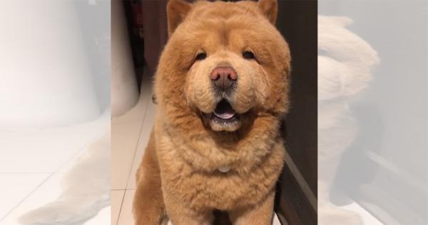 とにかく可愛い!クマにそっくりなチャウチャウ犬が大人気!