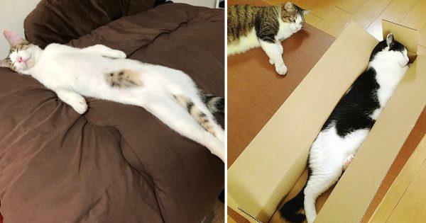 のびしろ半端ねえ!ネコ好きにはたまらない「ハッシュタグ全日本猫伸ばし協会」8選