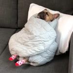 とにかく可愛い!仰向けで寝るフレンチブルドッグの寝言がキュート!