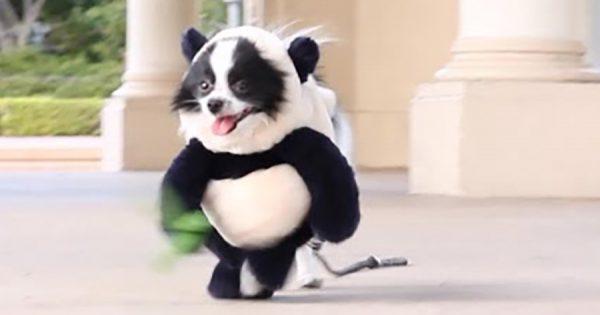 パンダが二足歩行!? コスプレをしたポメラニアンに世界が夢中!