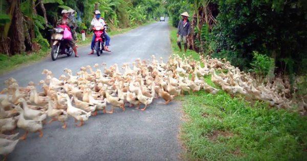 いつまで続くの!(笑) タイではアヒルの大群が道路が塞ぐ