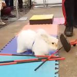 ハードルを全部破壊(笑) ウサギの障害物競走は全然思い通りに行かない!