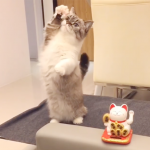 見ているだけでハッピーに!招き猫のマネをするニャンコがキュートすぎる