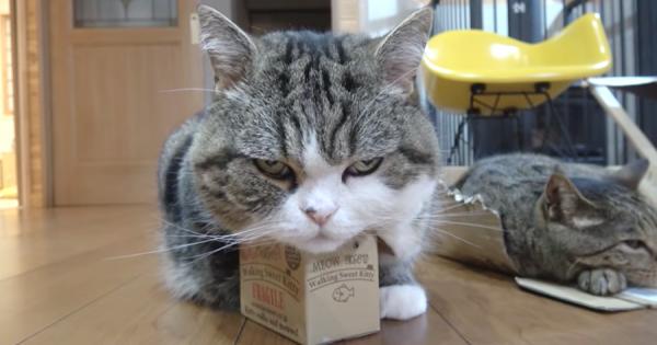箱に入るのが大好きなニャンコ。小さな箱に強引に入る姿に癒やされる