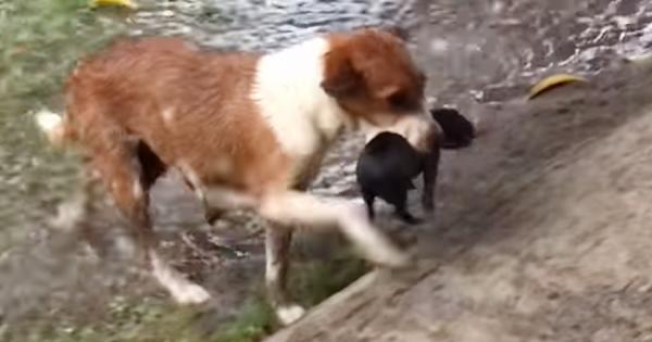 母親の愛情は偉大!土砂降りに襲われた子犬たちを一生懸命運ぶ母犬に感動