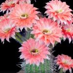 艶やかな美しさ……。サボテンの開花を捉えたタイムラプス映像が神秘的