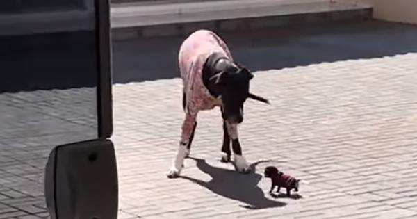 「小さいからって舐めるなよ!」身体の大きさにビビらず、大きな犬を外に追い出す小さなワンコ