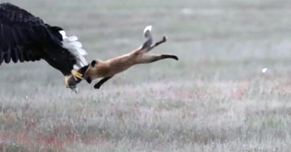 壮絶な食物連鎖!ハクトウワシがキツネのエサを横取りし、キツネごと空中に飛び立つ
