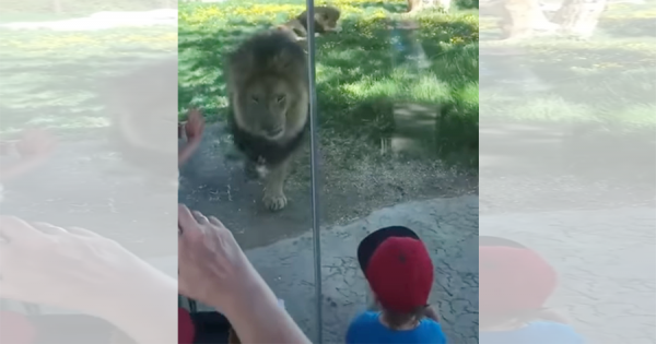 【閲覧注意】動物園のライオンが繰り出す、少年への予想外の攻撃に思わず吹き出す!