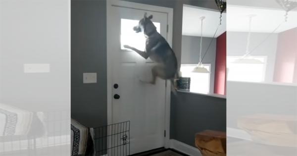 「おかえりいいいい!!」ご主人が帰ってくると、愛犬がジャンプをして大はしゃぎ