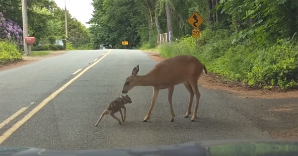 「ちゃんと横断しようね」道路の真ん中で座り込んでしまった子鹿を、助けに来たお母さん鹿