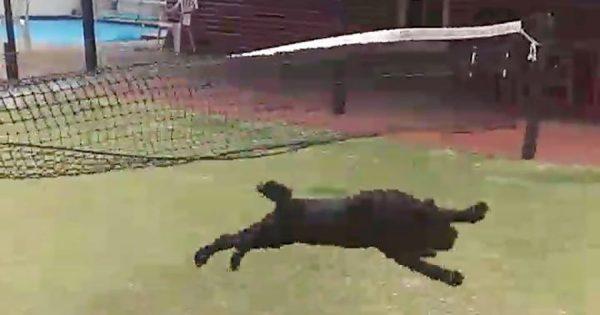 慌てん坊のボールドッグ、テニスネットに突っ込んで一回転!「何度見ても笑える」