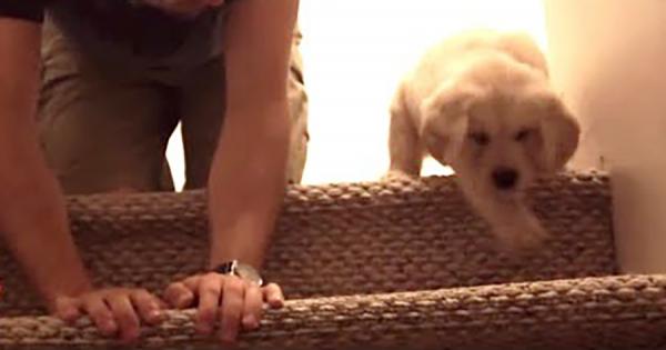 初めて階段にチャレンジするカワイイ子犬!ご主人に降り方を教わって無事成功!