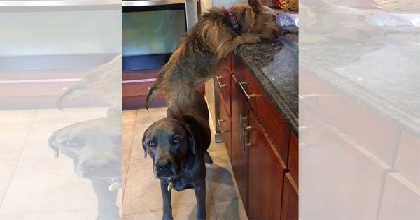 2匹の犬は窃盗団!キッチンのおやつを盗み食いするワンコと、その踏み台になるワンコ