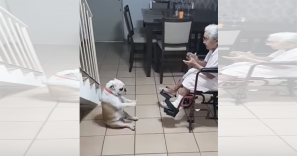 おばあちゃんの歌に合わせて、変なダンスをするブルドッグが可愛すぎる!(笑)
