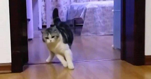 ご主人が透明なテープをジャンプ!すると、猫も立ち止まって見えない壁を飛び越えた(笑)