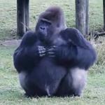 「エサをあげちゃダメだよ!」動物園のお客さんにジェスチャーで注意する天才ゴリラ