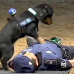 倒れた警官を小さな身体で心臓マッサージ!心肺蘇生法を試みる警察犬が話題