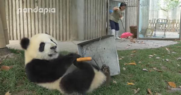 いたずら好きな『パンダの子供たち』の部屋の掃除は大変!ホウキやチリトリを奪って大暴れ