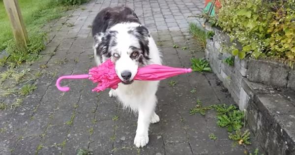 傘をくわえてスキップ&モデルウォーク!華麗なステップを披露する天才ダンサー犬