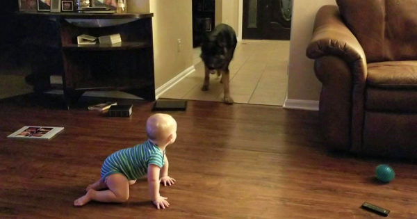 赤ちゃんとジャーマンシェパードが追いかけっこ!無二の親友が戯れる姿に癒やされる♡