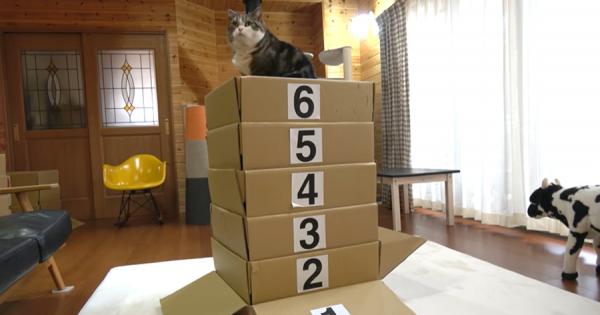 ダンボール製の跳び箱にチャレンジするニャンコ!果たして何段まで飛べる?