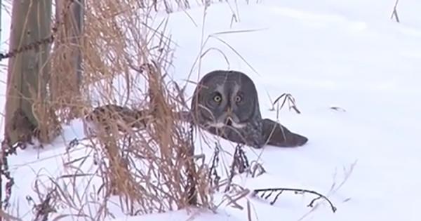 「誰にも見られていないよね?」飛び立つことに失敗したフクロウ、周りをキョロキョロと見渡す