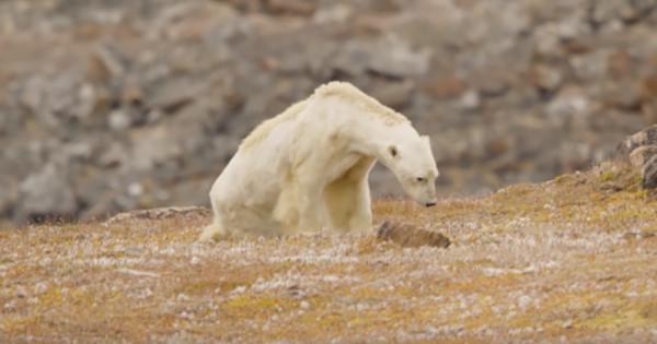 地球温暖化の影響で餓死寸前のホッキョクグマ。痩せ細った痛ましい姿に考えさせられる