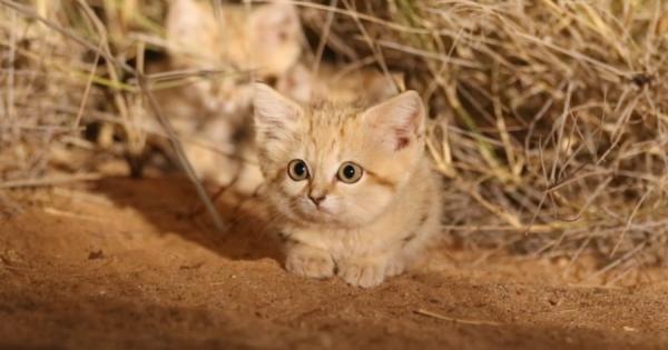 カワイすぎる砂漠の天使!野生のスナネコの子供、アフリカで初めて撮影に成功