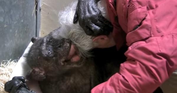 「今までありがとう」高齢のチンパンジーが懐かしい友人と再会。最後の力を振り絞って感動のハグ