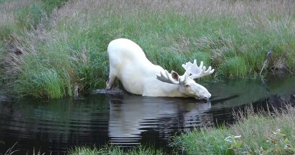まるで「もののけ姫」!スウェーデンで発見された真っ白のヘラジカが幻想的な美しさ