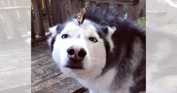 鼻の上に蝶が止まって寄り目に!変顔のハスキー犬がとにかくカワイイ(笑)