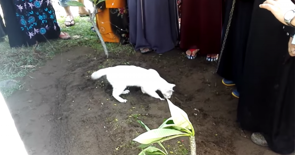 葬儀中にやってきたお墓から離れようとしない白猫。実は故人から生前可愛がられていた